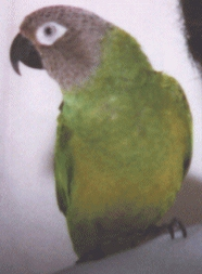 Dusky Conure or Wendells Conure