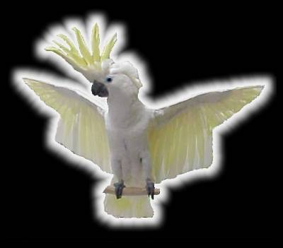 Greater Sulfer Cockatoo