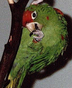 Red Fronted conure