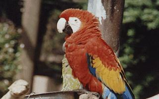 Scarllet Macaw